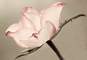 fine art, flower, Debbie Lias, photography, rose