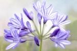 agapanthus, fine art, flower, Debbie Lias, photography