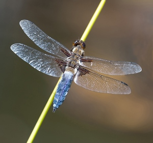 dragon fly, broad bodied chase, insect, macro, debbie lias, photography
