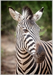 champmans zebra, safari, nature, debbie lias, photography, Monwana Lodge