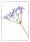 agapanthus, fine art, flower, Debbie Lias, photography