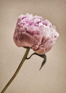 peony ,fine art, flower, Debbie Lias, photography,
