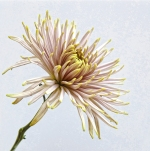 chrysanthemum, fine art, flower, Debbie Lias, photography