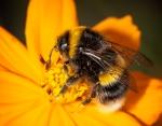 bee, pollen, flower, yellow, debbie lias, photography