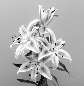 lilies, black and white, monochrome, flowers, debbie lias, photography