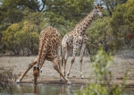 Giraffe, safari, nature, animals, Debbie Lias, Photography, Monwana Lodge