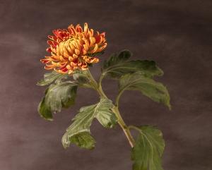 flower, chrysanthemum, textures, autumn, debbie lias, photography