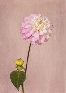 dahlia, flower, debbie lias, photography